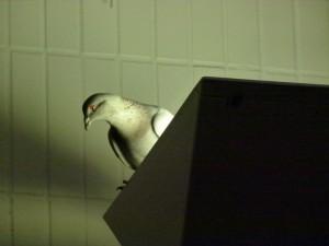 Pigeon, Altrincham Station